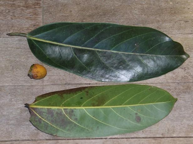 Ficus crassiramea 3Y3A2232