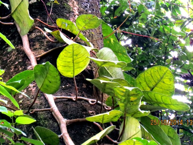 Ficus densechini IMG_0181.JPG