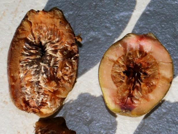 Ficus endospermifolia IMG_0501 - Copy.JPG