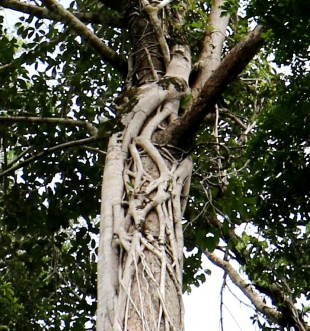 Ficus forstenii IMG_0364 - Copy (3).JPG