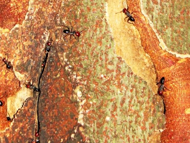 Ficus lumutana IMG_0729 - Copy
