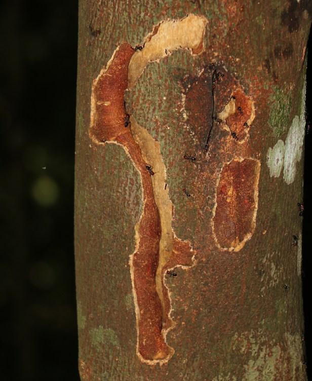Ficus lumutana IMG_0729 - .JPG