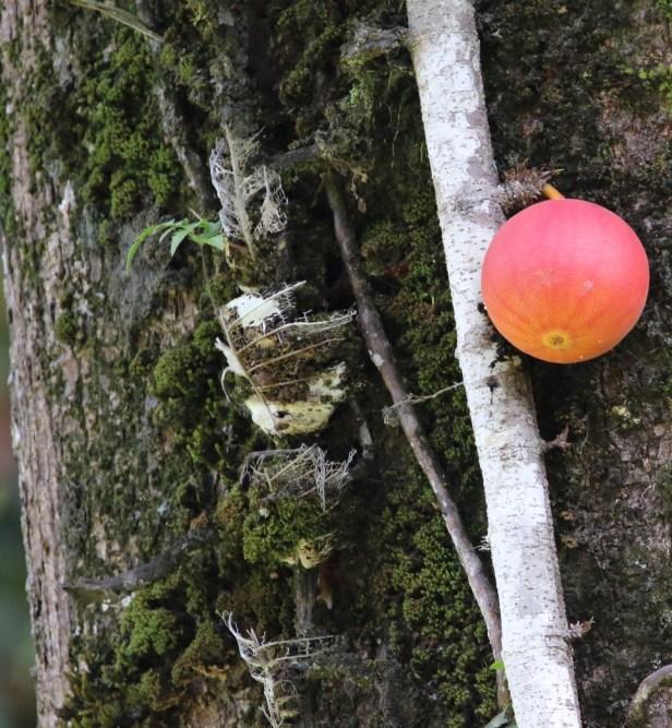 Ficus punctata 3Y3A2609.JPG