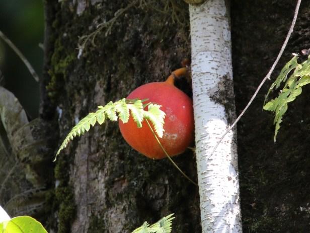 Ficus punctata 3Y3A2610.JPG