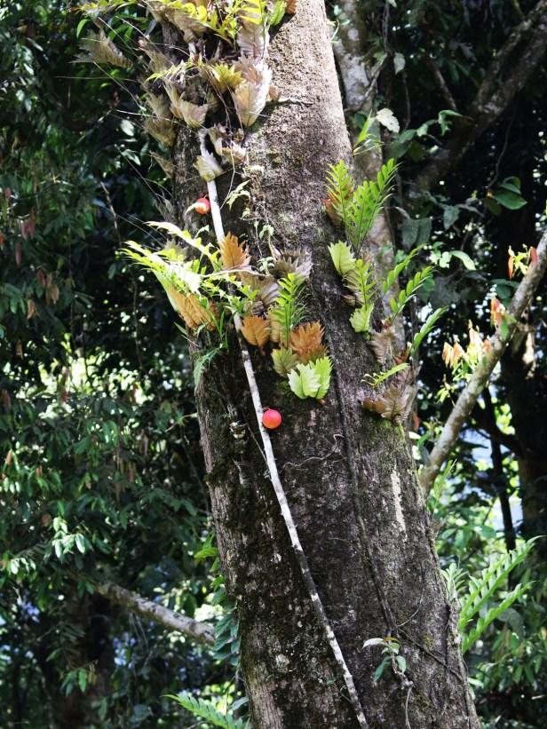 Ficus punctata 3Y3A2624.JPG