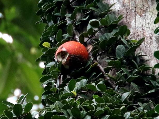 Ficus punctata  male Ulu ulu3Y3A1110 - Copy.JPG