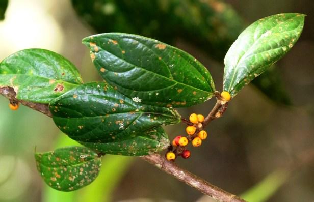 Ficus recurva 3Y3A4099.JPG