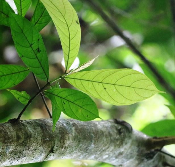Ficus rosulata 0C7A3377.JPG