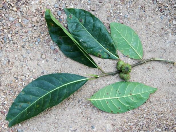Ficus septica Tabin IMG_5580 - Copy