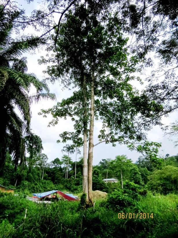 Ficus trichocarpa IMG_8568.JPG