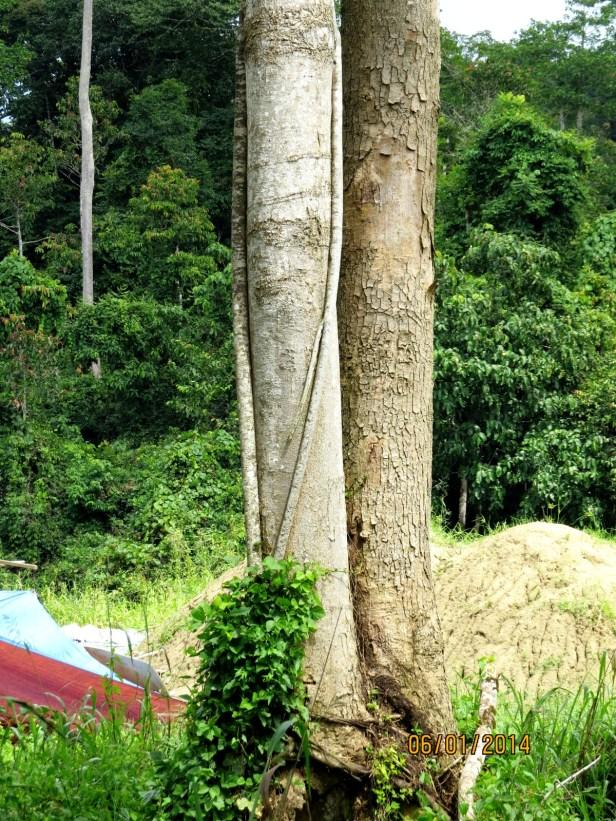 Ficus trichocarpa IMG_8571.JPG
