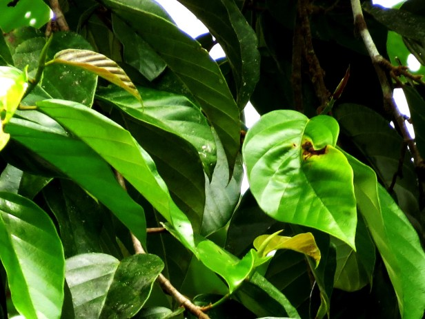 Ficus trichocarpa IMG_8598.JPG