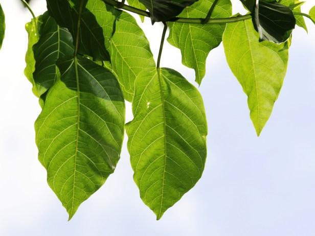 Ficus variegata 3Y3A2662.JPG