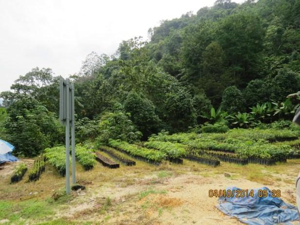 Ficus variegata IMG_0058.JPG