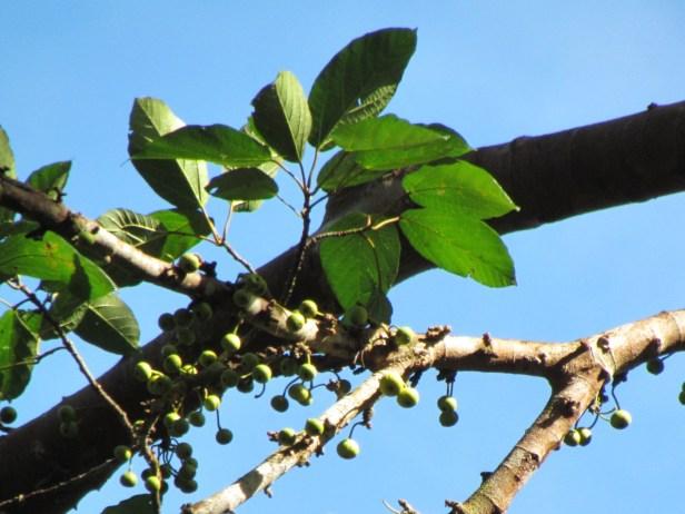 Ficus variegata IMG_4922.JPG