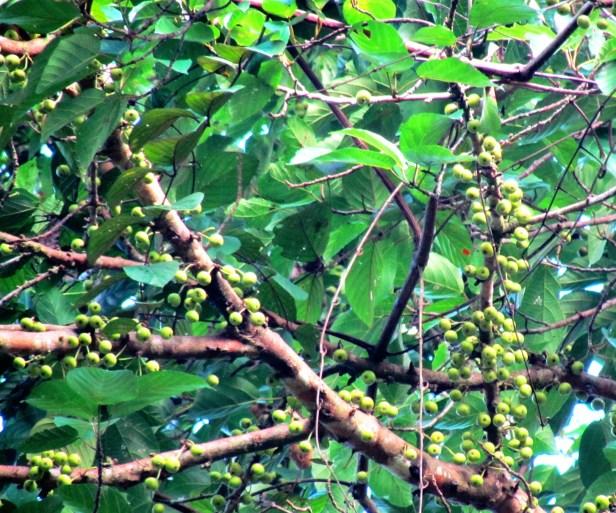 Ficus variegata IMG_4939.JPG