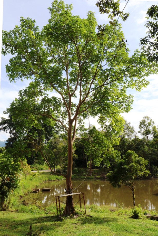 Ficus variegata Maliau IMG_0255 - Copy