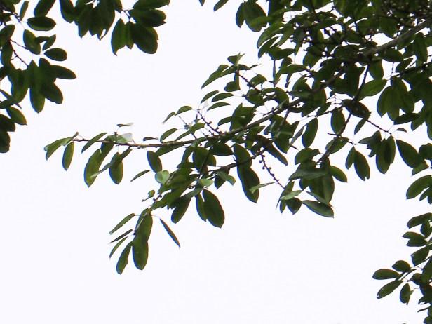 Ficusvirens Maliau 3Y3A1459 - Copy.JPG
