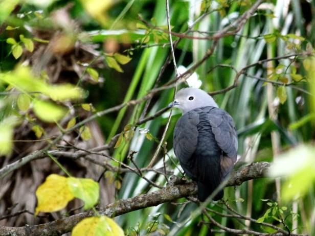 Grey Imperial pigeon IMG_0297.jpg