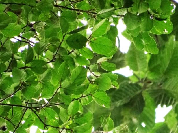 IMG_0019 - Ficus trichocarpa Copy.JPG