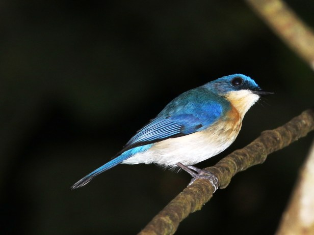 Malaysian Blue Flycatcher IMG_1287.JPG