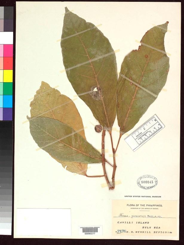 Ficus cuminingii var worcesteri Philippines.jpg