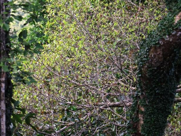 Ficus dubia IMG_0415