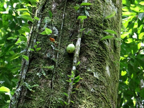 Ficus grandiflora 3P7A9919.JPG