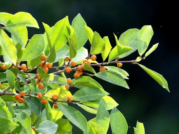 Ficus heteropleura 3P7A8769