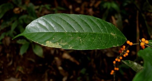 Ficus subulata 3P7A9917.JPG