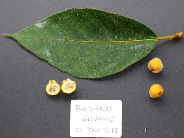 Ficus aurata 3Y3A0357