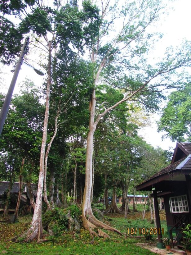 03 Tabin Ficus variegata IMG_3578.JPG
