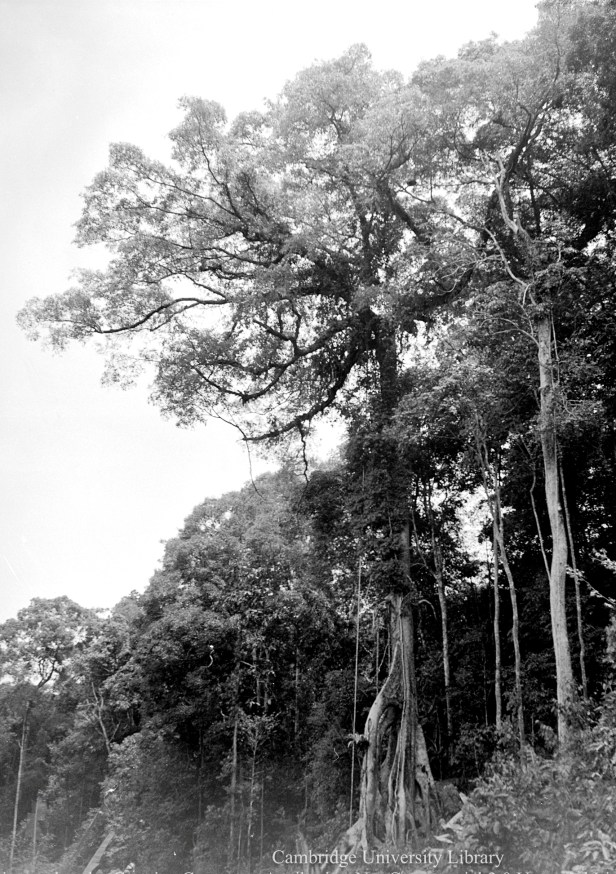 1605 Ficus kerkhovenii Ranau PH-Y-03031-M-000-01605