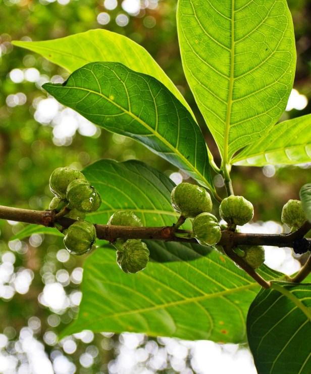 AVDE Ficus septica - Copy.jpg