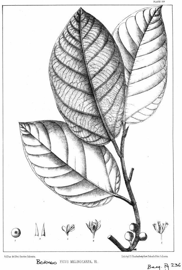 Ficus melinocarpa King (1887) -enhamced.jpg