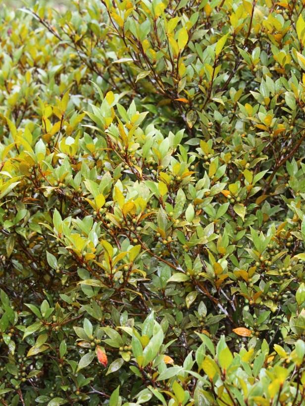 Ficus oleifolia IMG_2180.JPG