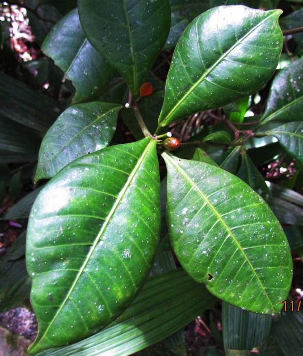 Ficus oleifolia IMG_2612.JPG