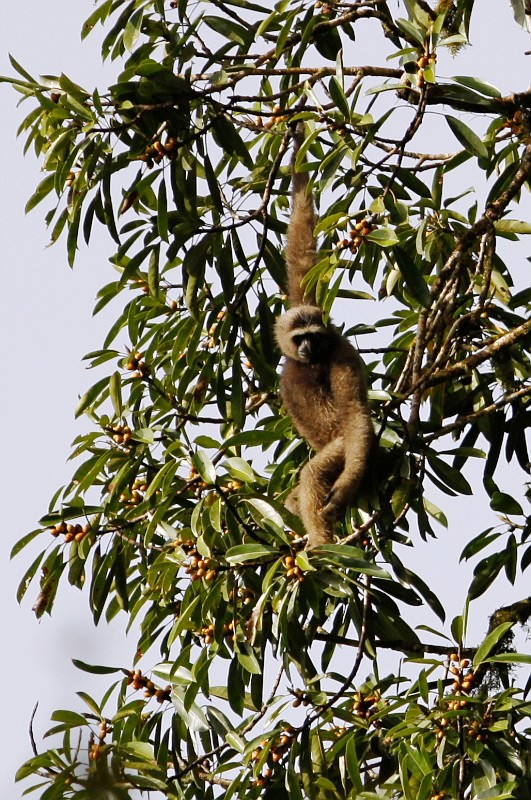 Gibbon Danum Marcel Holyoak 06