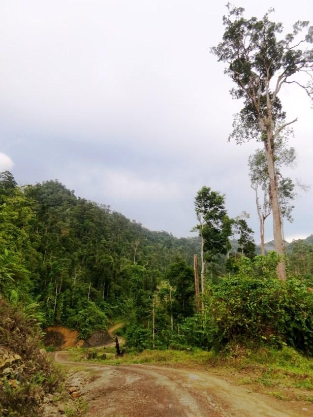 Kuamut logged forest MG_1280.JPG