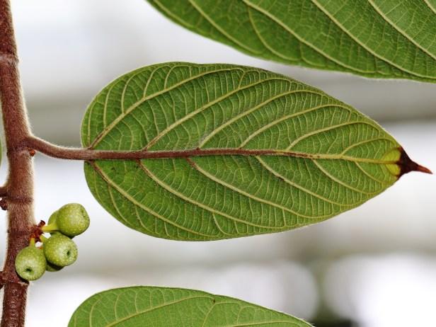 Villosa at Kew 3Y3A5453.JPG