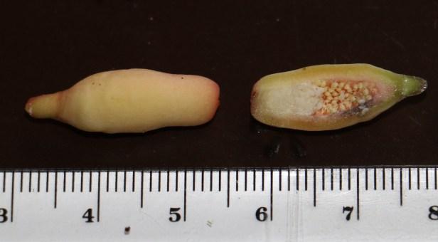 deltoidea IMG_2892.JPG