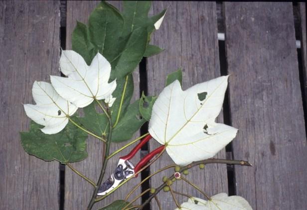 Ficus grossularioides GW858_1