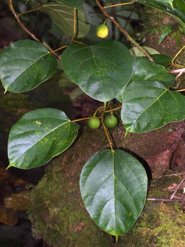 Ficus laevis 02 P2132314.JPG