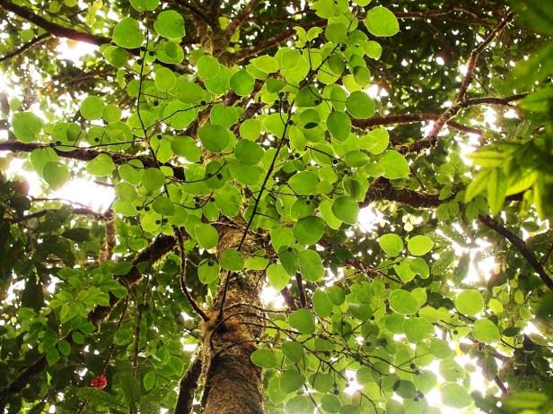 Ficus laevis 04 P2132317.JPG