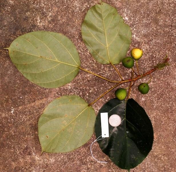 Ficus laevis 08 P2132373.JPG