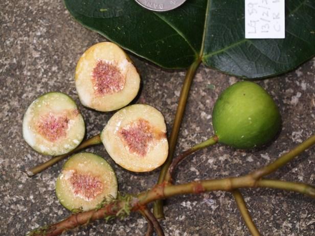 Ficus laevis  11  P2132383.JPG
