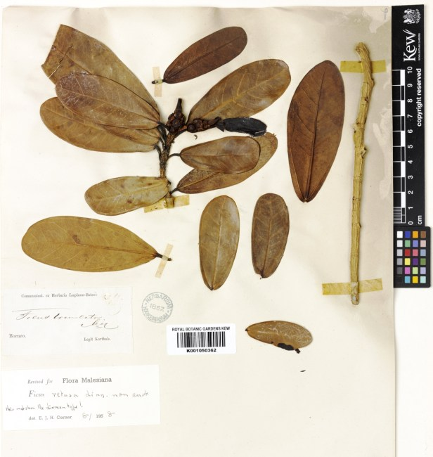 Ficus retusa TYPE collection at Kew originally names F.truncata 622902 .jpg