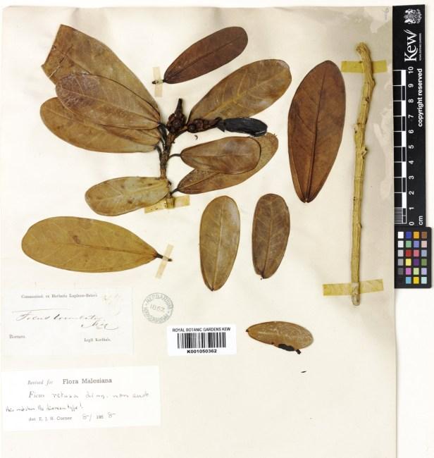 Ficus retusa TYPE collection at Kew originally names F.truncata 622902 .jpg