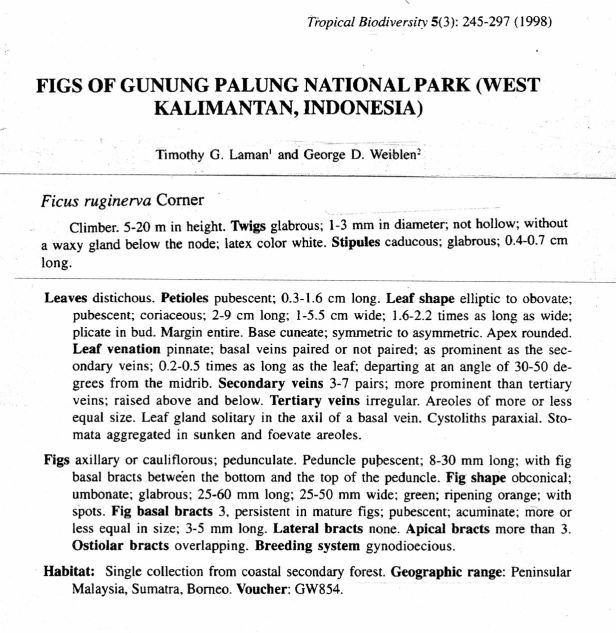 Ficus ruginerva Gng Palung.jpg