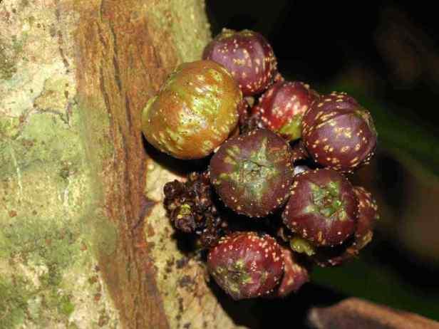 tarennifolia - 17